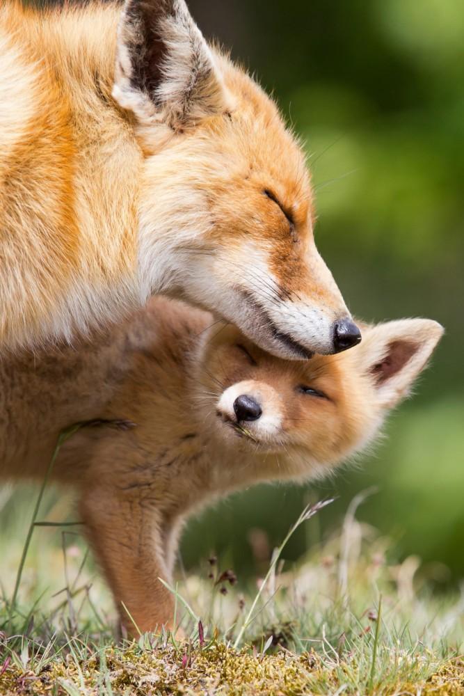 Отличает лис фенек от обычных представителей лисьих еще и то что первые живут небольшими группами